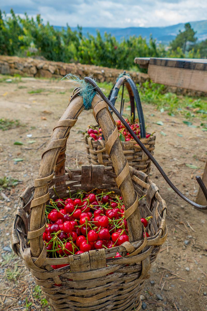 Rota das Cerejas e dos Vinhos no Vale Varosa