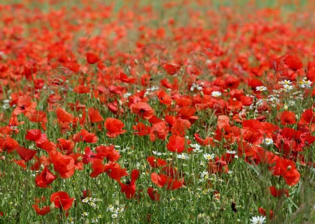 poppy-field-3154154_1920