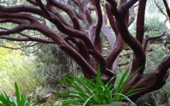 Manzanita-Tree