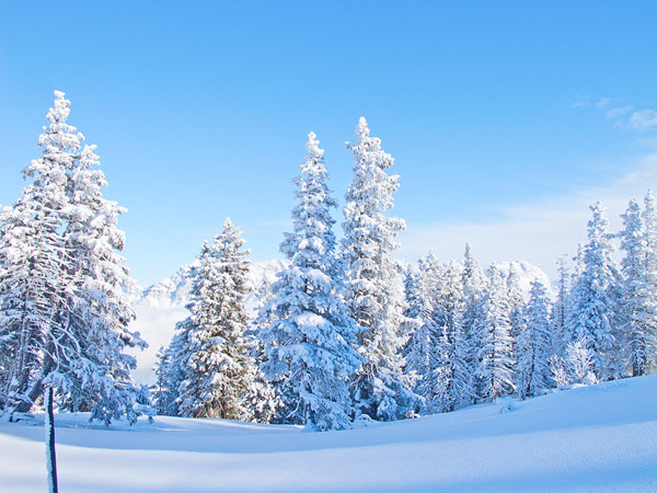 resized_Snow Covered Trees