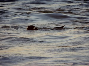 Backlit Otter at Sunset 12/28/2014