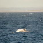 Breaching grey whale calf 12/29/2014