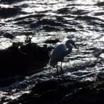 Backlit Great Egret at Sunset