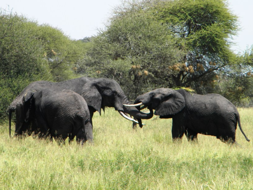 Elephant Greeting - Tarangire National Park