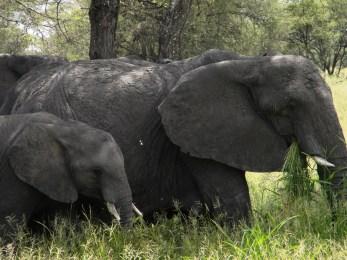 Elephants - Tarangire National Park