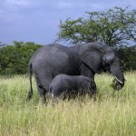 Mother and Young Elephant - Tarangire National Park