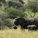Mother and Nursing Elephant - Tarangire National Park