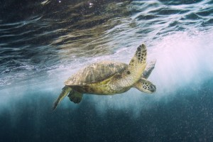 Green Sea Turtle - Photograph by Michael Fuchs Photography