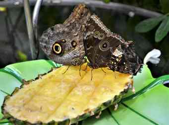 A variety of butterflies feed on a slice of pineapple at one of the fruit feeding stations