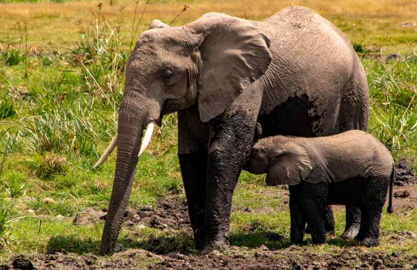 A baby elephant nurses after a mud bath
