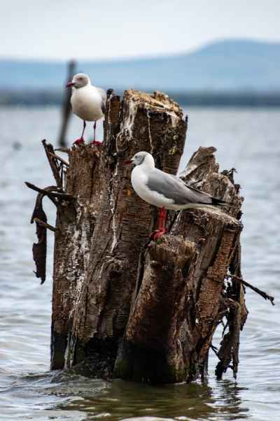 gray headed gulls