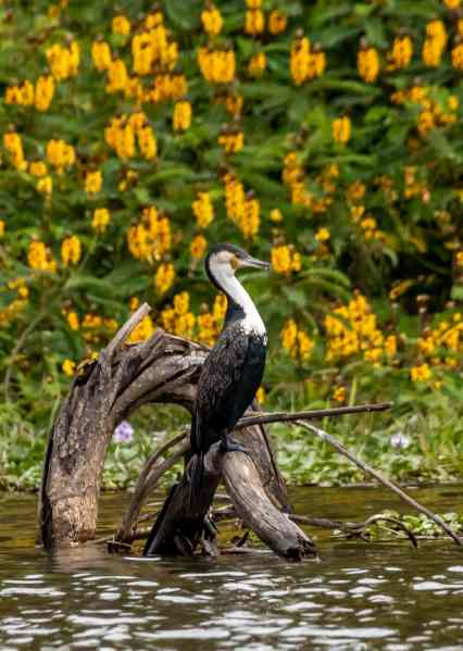 white breasted cormorant
