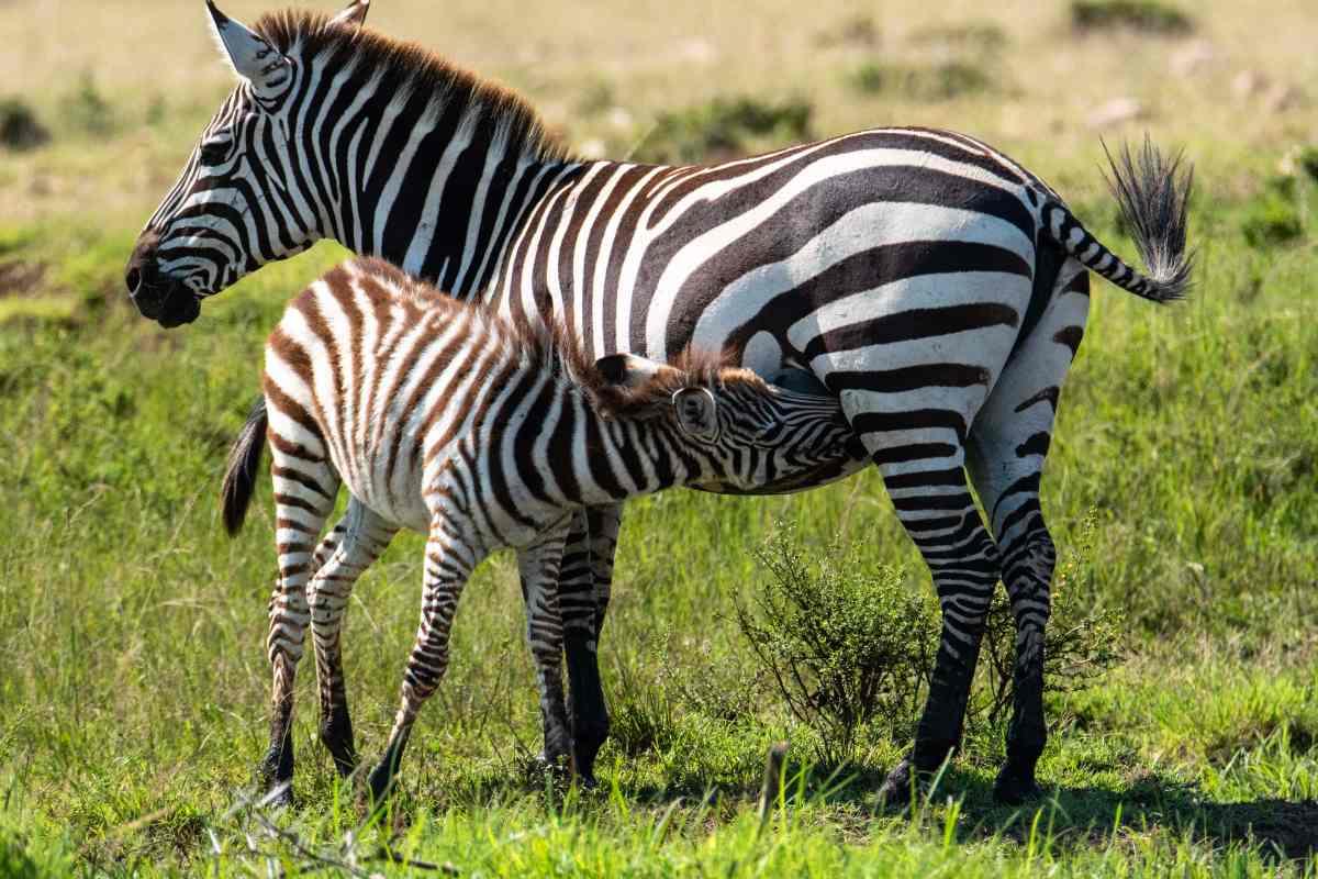 mom zebra and baby zebra nursing