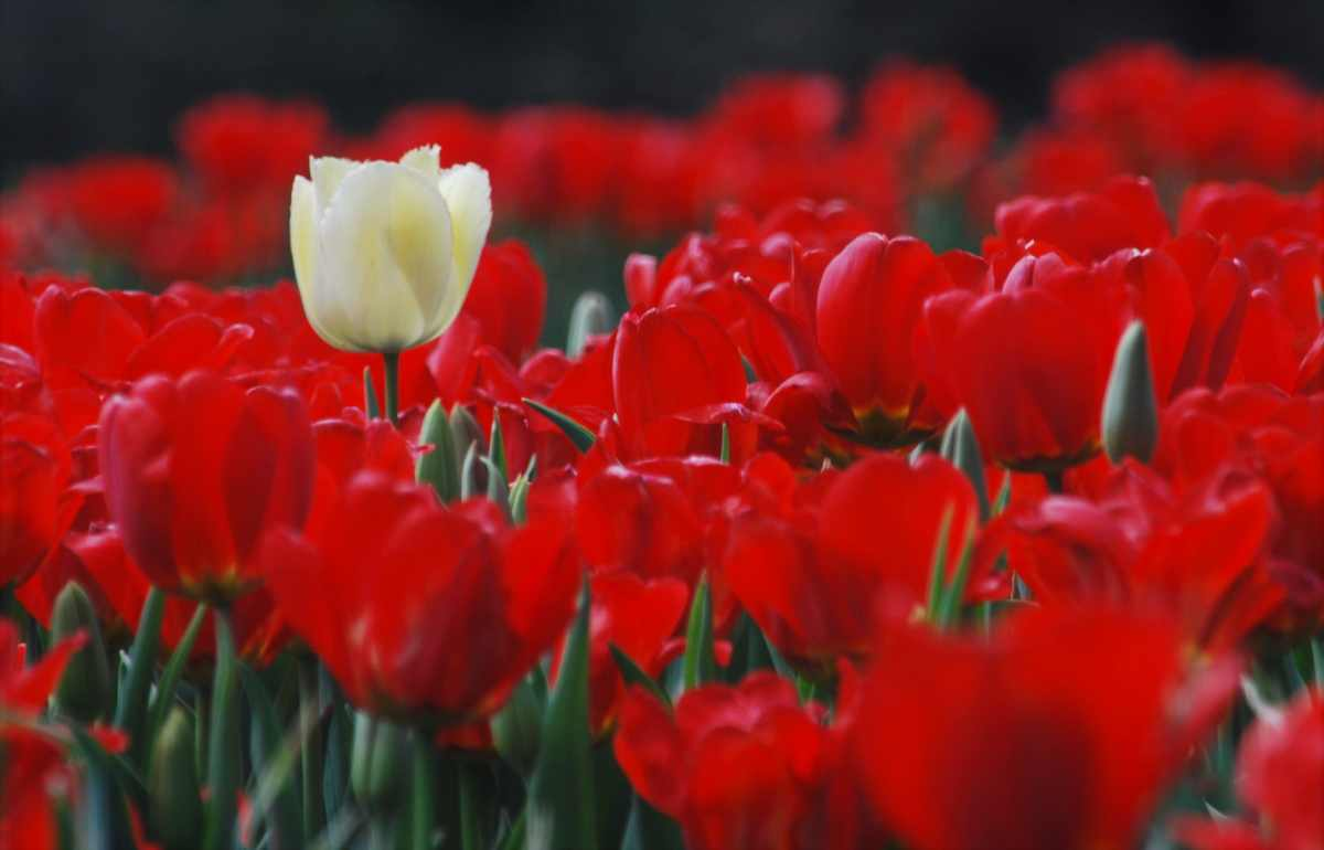 Tiptoe Through the Tulips – A Colorful Collection of Longwood Gardens Spring Photos