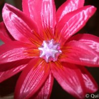 Pink Silk Daisy