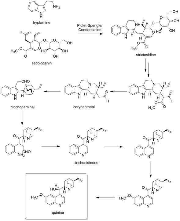 Pasos de la biosíntesis de la quinina