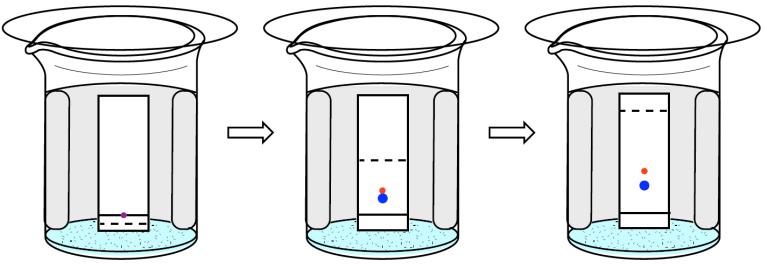 Figura 2: Secuencia de cromatografía en capa delgada para separar los componentes de una muestra púrpura.