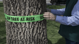 Where did the Wausau trees go?  Here's where, and why
