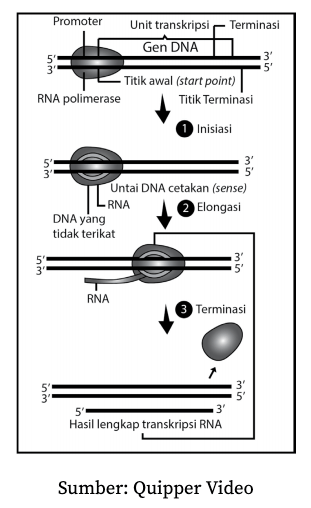 Proses Sintesis Protein : proses, sintesis, protein, Sintesis, Protein, Biologi, Kelas, Quipper