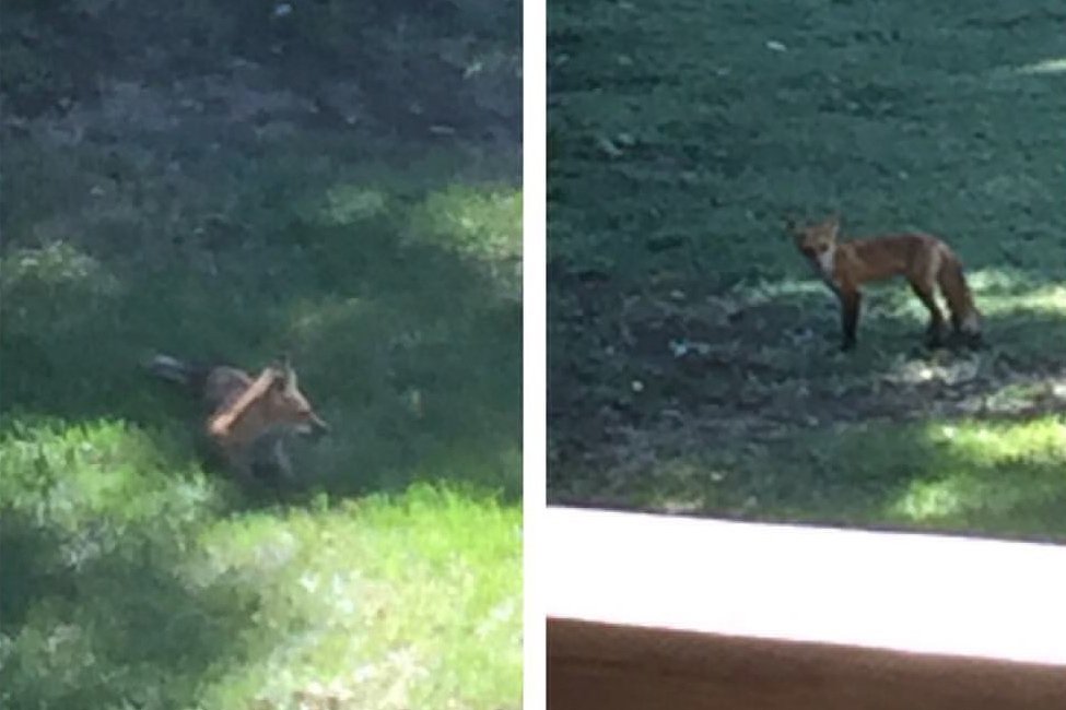 A pair of foxes playing in our backyard.