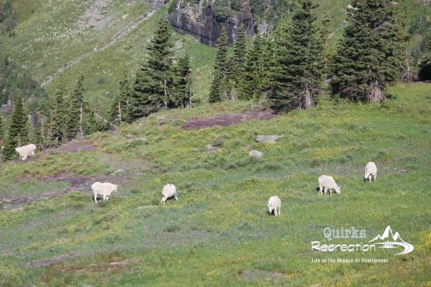 Herd of mountain goats on a hillside
