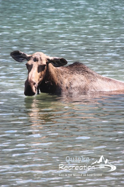 Moose eating from a lake bottom