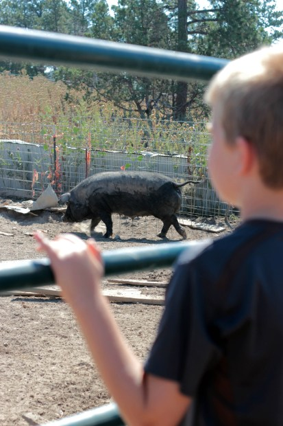 Peering at a muddy pig through the fence