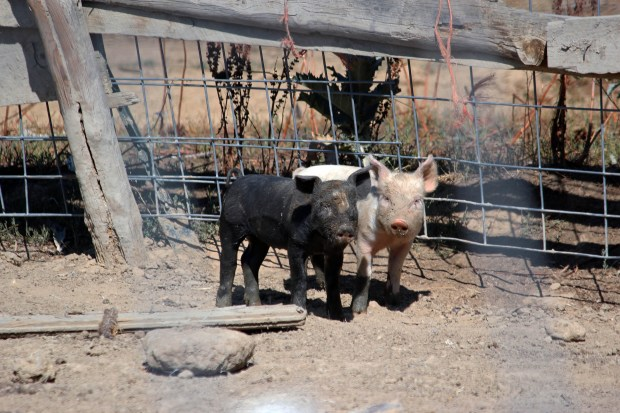 Two piglets standing in a pen