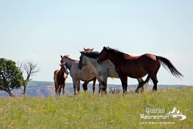 wild horses at Theodore Roosevelt National Park
