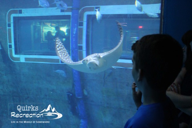 Manta ray swimming at Nemo aquarium - Walt Disney World Epcot