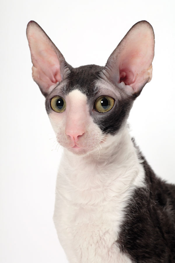 quirky cornish rex photo