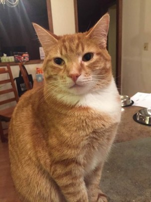 Finn the Orange Tabby cats