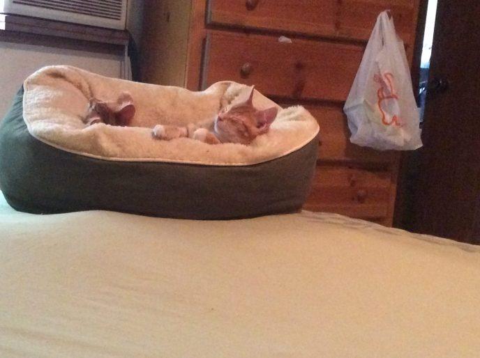 Orange tabby cats sleeping in cat bed