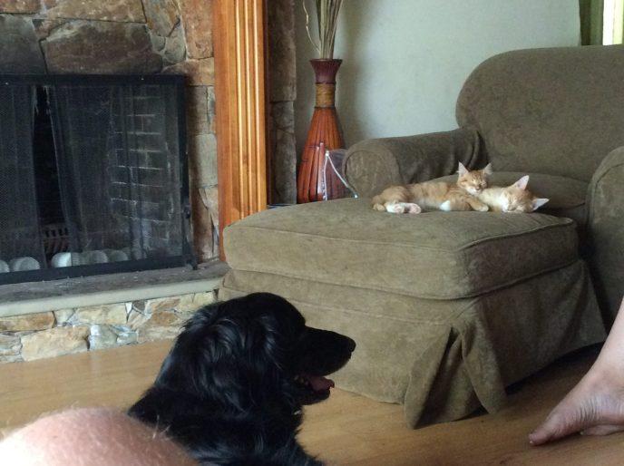 orange tabby cats with grandpa dog