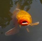 japanese-orange-fish