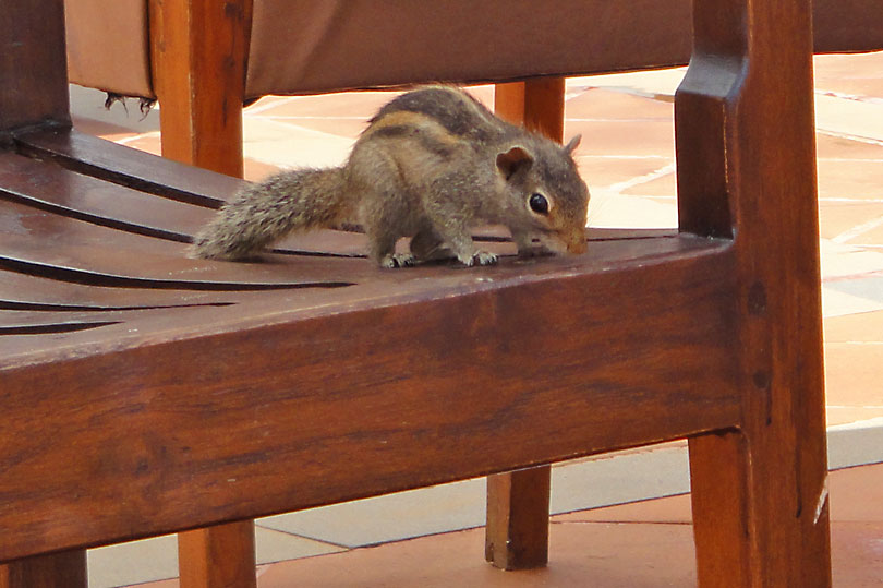 Sri Lankan squirrel