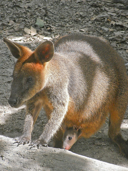 mama and baby wallaby