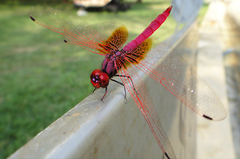 A red dragonfly in Sri Lanka