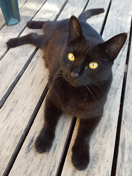 Black cat sitting on decking in Fiji