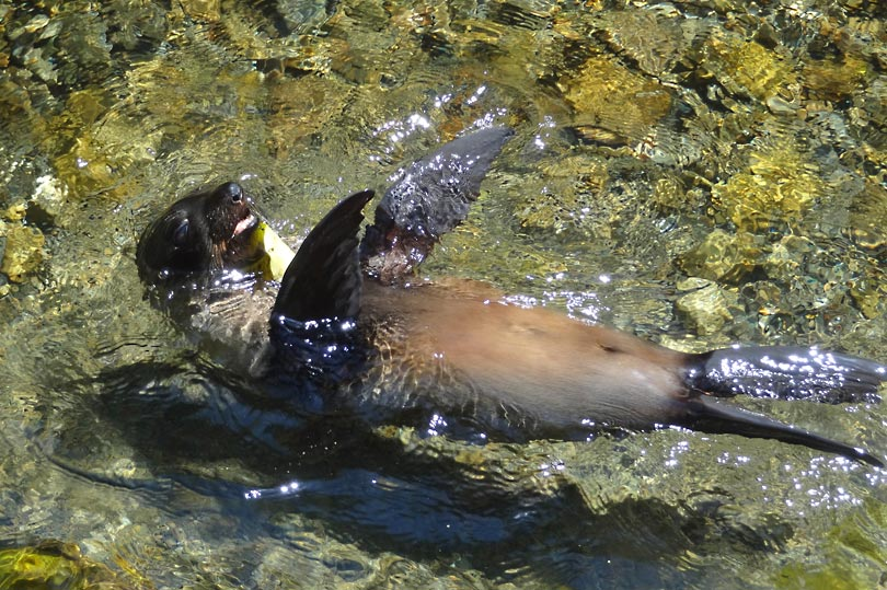 Seal swimming in Ohau stream, Kaikoura