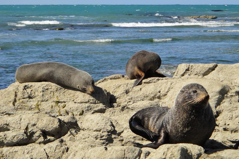 Seals on the peninsula in Kaikoura