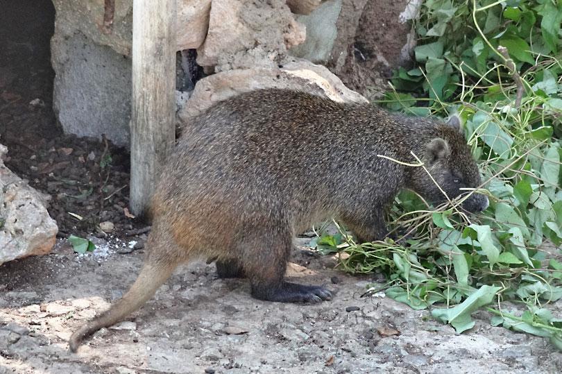 Jutia - large rodent of Cuba