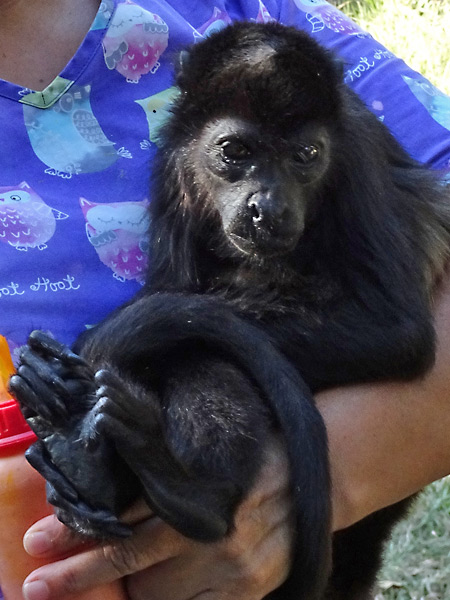An orphaned howler monkey being cared for at a wildlife rescue centre in Costa Rica