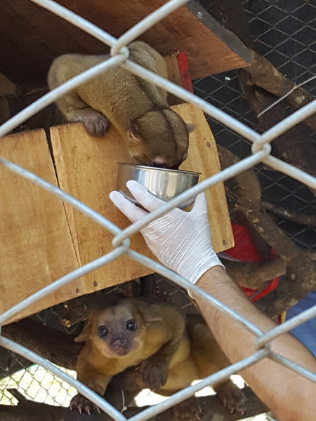 Vet feeding a pair of kinkajou. These animals are nocturnal but required veterinary attention during the day, giving us a rare glimpse of them during daylight hours.