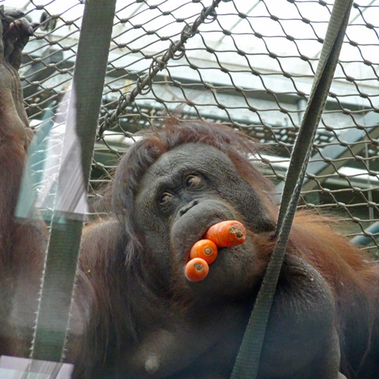 Orangutan eating carrots