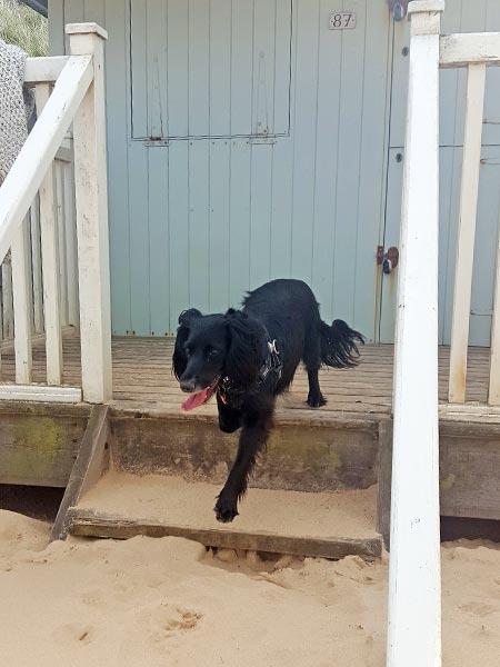 sprocker dog enjoying the beach