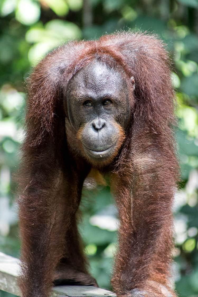 An orangutan looking directly at the camera.