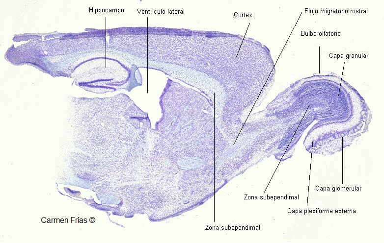 corte sagital de cerebro de rata en tinción de violeta de cresilo. Corte observable con microscopio estereoscópico.