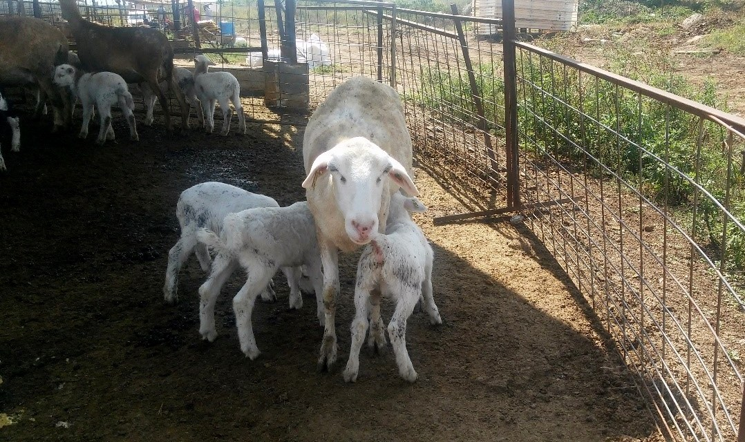 El estudio de las ovejas en Yucatán