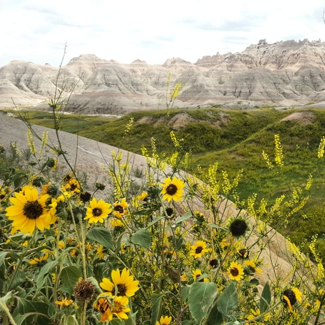 Sunflowers in the Badlands